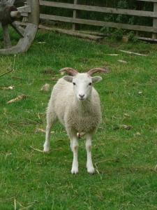 Sheep, Gyrwe