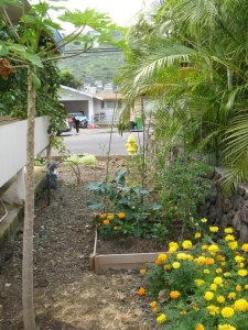 Jolly side yard with papaya, lilikoi (passion fruit) on carport, and some vegetables