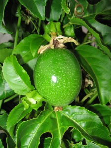Lilikoi fruit, one of many, made into lilikoi butter, bars, cake, sorbet....