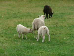Bede's World sheep
